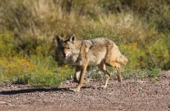 IMG_2606_Coyote